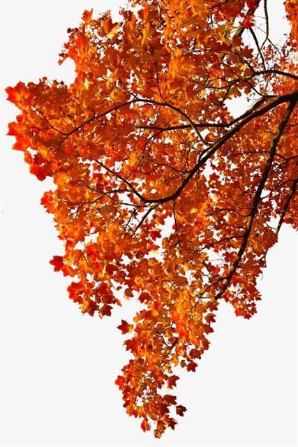 最漂亮的枫树风景图片
