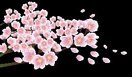 唯美樱花飘落图片