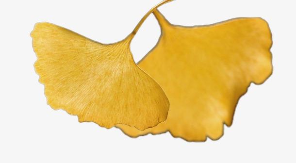 银杏树叶矢量图