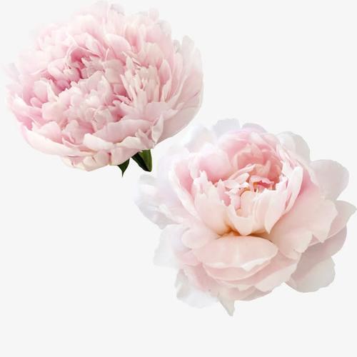 牡丹花卉矢量图