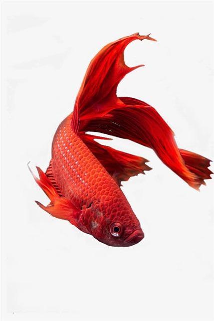 红色金鱼图片