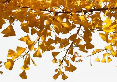 银杏叶摄影图