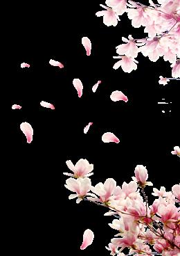 粉色玉兰花古风背景图片