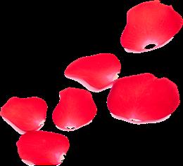 玫瑰花瓣散落图片