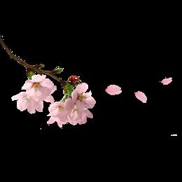 飘落的粉色樱花图片