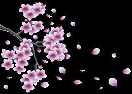 樱花飘落如雨图片
