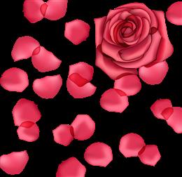 玫瑰花花朵花瓣