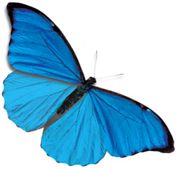 翩翩飞舞的蓝蝴蝶