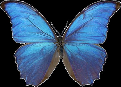 蓝色写真仿实蝴蝶