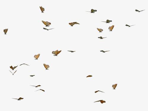 满天飞舞蝴蝶图片