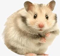 可爱宠物鼠