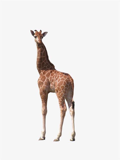 长颈鹿高清图片