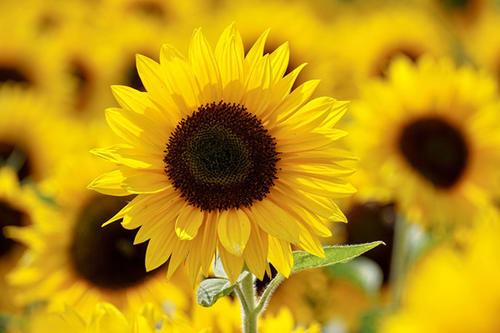 高清向日葵背景图片