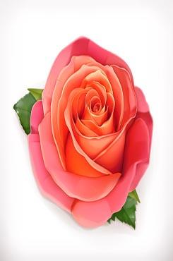 玫瑰花矢量素材