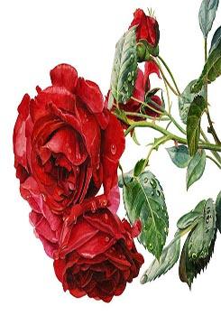 复古玫瑰花矢量图