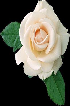 白色玫瑰花免抠图