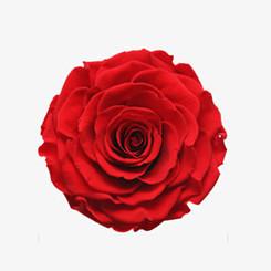 红色玫瑰花免扣图片素材