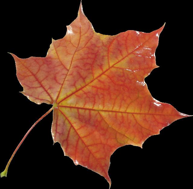 秋天枫树叶图片