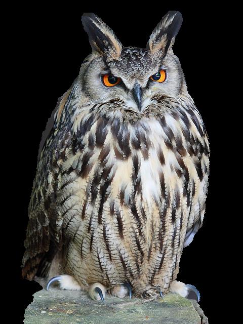 愤怒的猫头鹰
