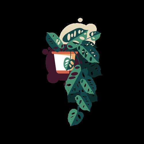 桑叶植物盆栽